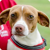 Adopt A Pet :: Lil' Abner - Greenwood, SC