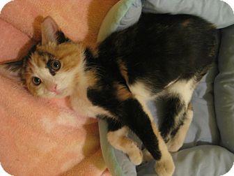 Domestic Shorthair Kitten for adoption in Edmond, Oklahoma - Jezebel