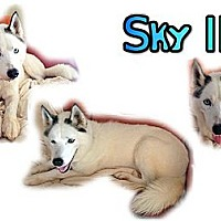 Adopt A Pet :: Sky II - Seminole, FL