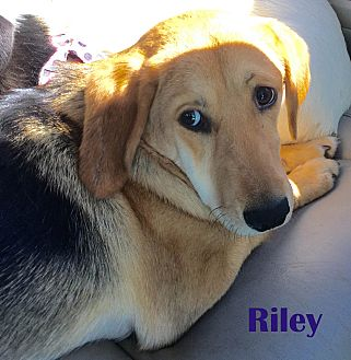 Beagle/Collie Mix Dog for adoption in Orangeburg, South Carolina - Riley