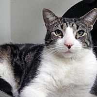 Domestic Shorthair Cat for adoption in Toledo, Ohio - MAX