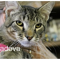 Domestic Shorthair Cat for adoption in Wichita Falls, Texas - Padova