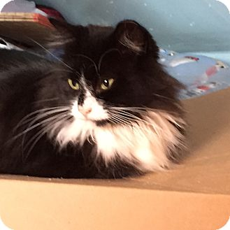Domestic Longhair Cat for adoption in Islip, New York - Lizzy