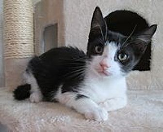 Domestic Shorthair Cat for adoption in San Bernardino, California - Chocolate