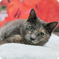 Domestic Shorthair Cat for adoption in Houston, Texas - Miranda