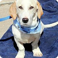 Adopt A Pet :: Ryan - Alexandria, VA