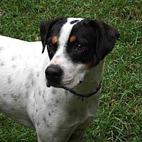 Pointer Mix Dog for adoption in E. Greenwhich, Rhode Island - John Boy