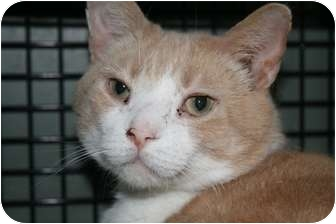 Domestic Shorthair Cat for adoption in Frederick, Maryland - Butterscotch and Salem