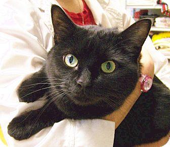 Domestic Shorthair Cat for adoption in Toledo, Ohio - Jinx