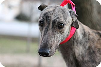 "Greyhound Dog for adoption in Smyrna, Tennessee - Bold and Best ""Best"""
