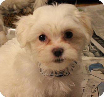 Maltese Mix Puppy for adoption in Chicago, Illinois - AVA