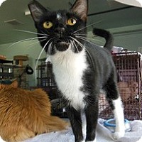 Domestic Shorthair Cat for adoption in Mission Viejo, California - Star