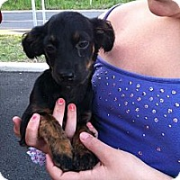 Adopt A Pet :: Belle - Shirley, NY