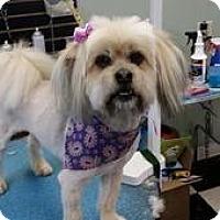 Adopt A Pet :: Cher - Shawnee Mission, KS