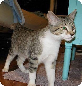 American Bobtail Cat for adoption in Garden City, Michigan - Miss Em