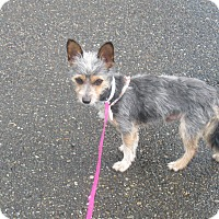 Adopt A Pet :: Yogi - Tumwater, WA