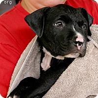 Adopt A Pet :: Gus - La Habra, CA