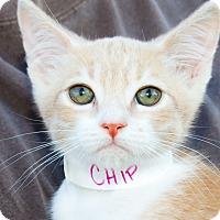 Adopt A Pet :: Chip - Irvine, CA