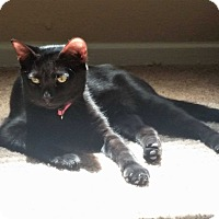 American Shorthair Kitten for adoption in Houston, Texas - Frankie