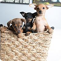 Adopt A Pet :: Vanderbilt Litter - Inglewood, CA