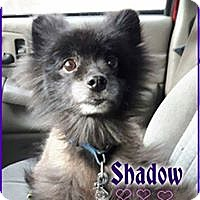 Adopt A Pet :: Shadow - Barriere, BC