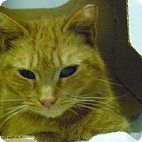 Domestic Shorthair Cat for adoption in Hamburg, New York - Dewey