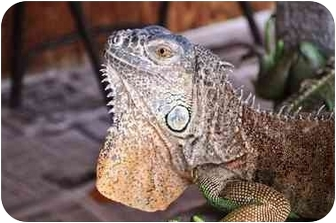 Iguana for adoption in Longmont, Colorado - Tina
