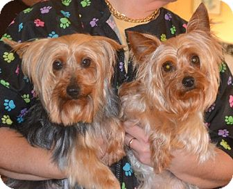 Yorkie, Yorkshire Terrier Dog for adoption in Greensboro, North Carolina - Lucy & Lily - Bonded Pair