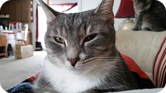 Domestic Shorthair Cat for adoption in Brooklyn, New York - Whitney