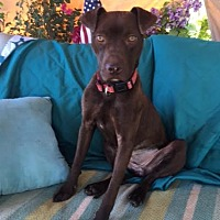 American Staffordshire Terrier Mix Dog for adoption in Toluca Lake, California - Sienna