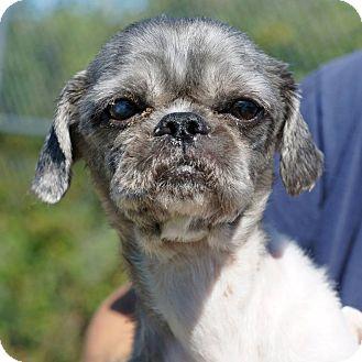 Shih Tzu Mix Dog for adoption in Port Clinton, Ohio - ASTRO