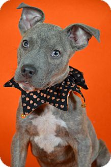 Pit Bull Terrier Mix Puppy for adoption in Palmyra, Pennsylvania - Blue Brees