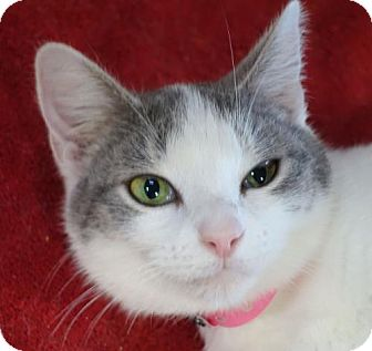 Domestic Shorthair Cat for adoption in Redwood City, California - Gracie