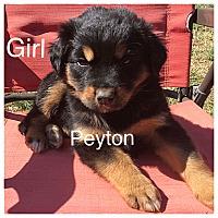 Adopt A Pet :: Peyton - Oxford, CT