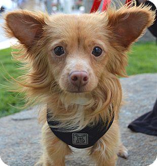 Papillon/Pomeranian Mix Dog for adoption in Los Angeles, California - Alfie