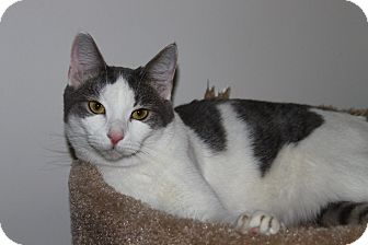 Domestic Shorthair Cat for adoption in North Branford, Connecticut - Stella