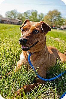 German Pinscher/Terrier (Unknown Type, Small) Mix Dog for adoption in Shelbyville, Kentucky - Pistol Annie