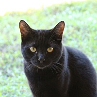 Domestic Shorthair Cat for adoption in Estero, Florida - Herman