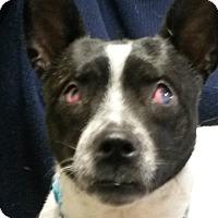 Adopt A Pet :: Missy Mae - Muskegon, MI