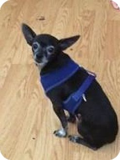 Chihuahua Mix Dog for adoption in Seattle, Washington - Sparkey