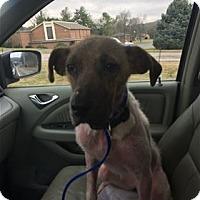 Adopt A Pet :: Stella - Nashville, TN