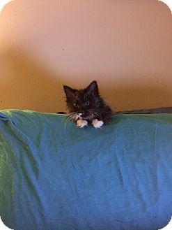 Ragdoll Kitten for adoption in Browns Mills, New Jersey - Maybelline
