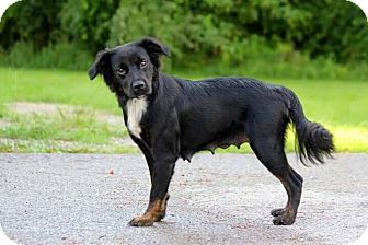Flat-Coated Retriever/Border Collie Mix Dog for adoption in Newport, Kentucky - Liby