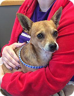 Chihuahua Mix Dog for adoption in Greensburg, Pennsylvania - Pablo