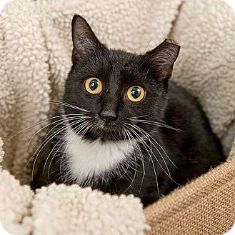 Domestic Shorthair Kitten for adoption in Wilmington, Delaware - Martie