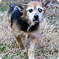 Australian Terrier Mix Dog for adoption in Fairfax, Virginia - Noelle