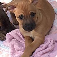 Adopt A Pet :: Brigid - Gainesville, FL