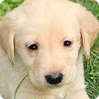 Adopt A Pet :: EVE(THE SWEETEST LAB PUPPY!! - Wakefield, RI