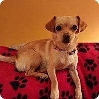 Adopt A Pet :: ChiChi - Cincinnati, OH