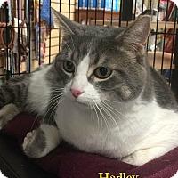 Adopt A Pet :: Hadley - Spring Brook, NY